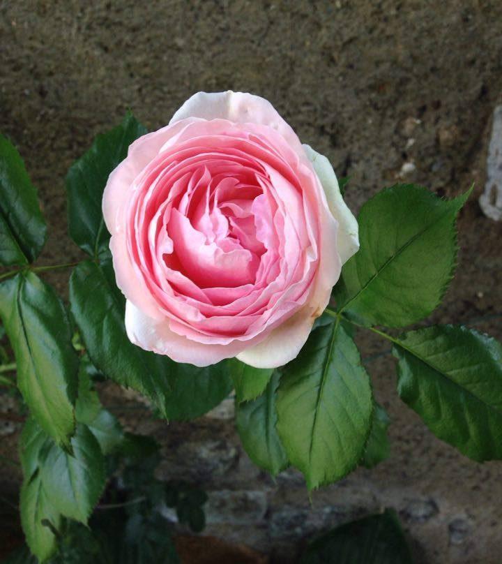 rosa rosa del mio giardino