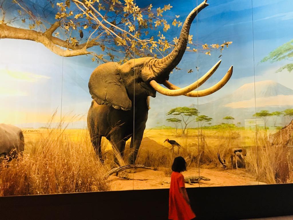 jimi elefante vivido - museo di storia naturale